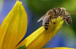lebah madu propolis
