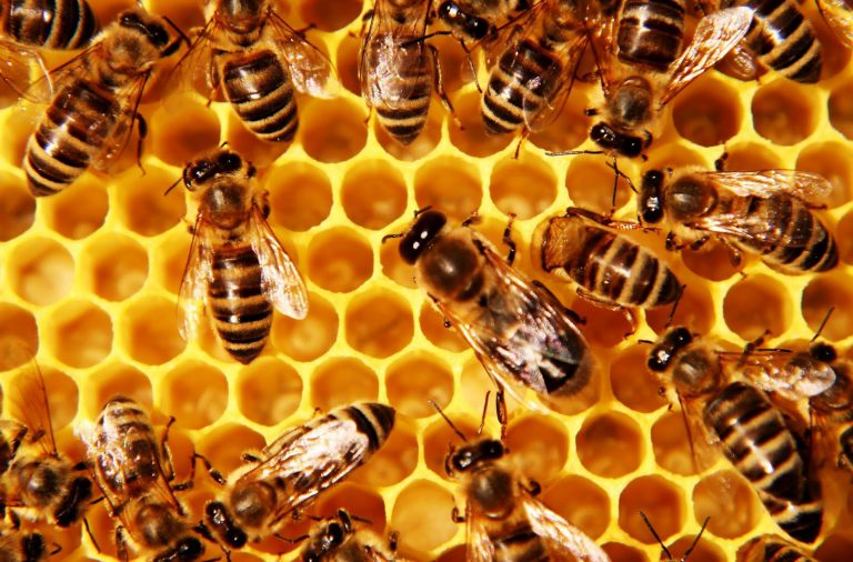 lebah madu penghasi propolis