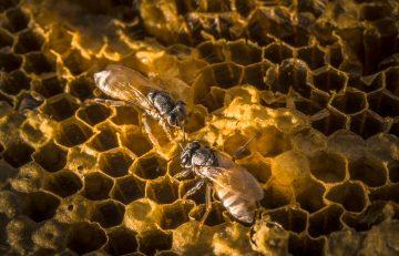 propolis sarang lebah